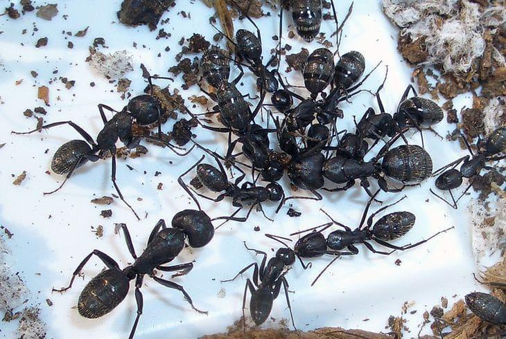 Древоточец (Camponotus vagus)
