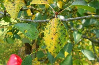 Коккомикоз на листьях вишни