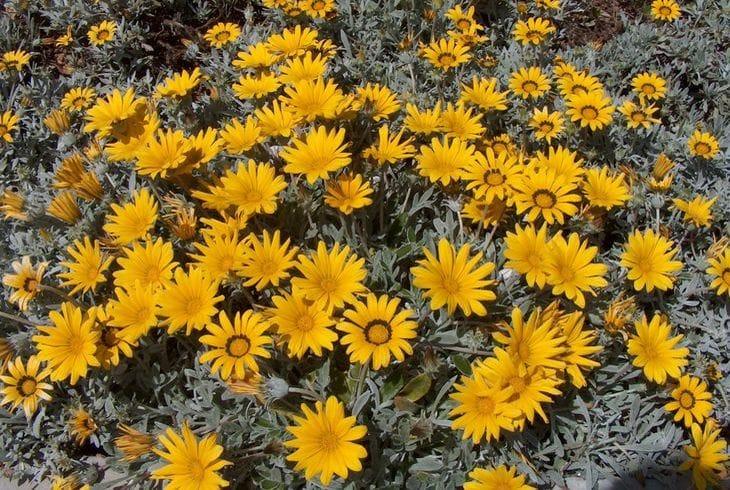 Газания длиннострелковая (G. longiscapa)