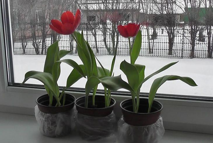 Цветущие тюльпаны на подоконнике