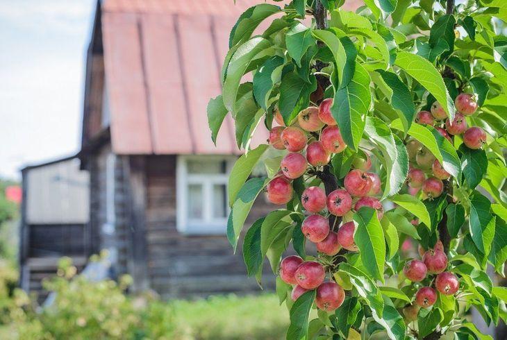Посадка колоновидных яблонь: как сажать