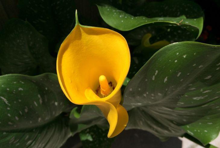 Желтая калла