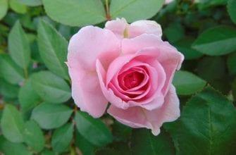Парковая роза Прейри Джой