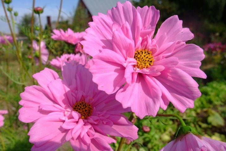 Розовый леденец