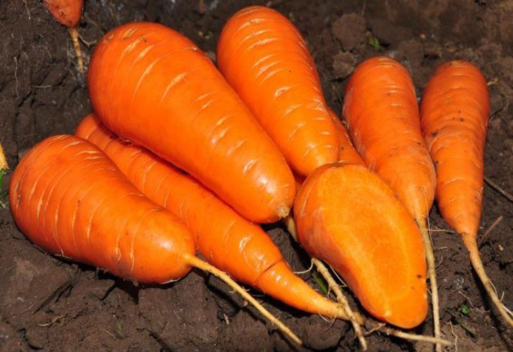 Морковь Краса Девица