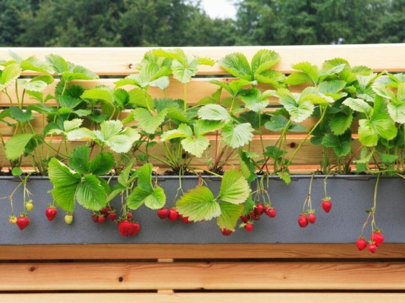 Как правильно вырастить клубнику у себя на балконе