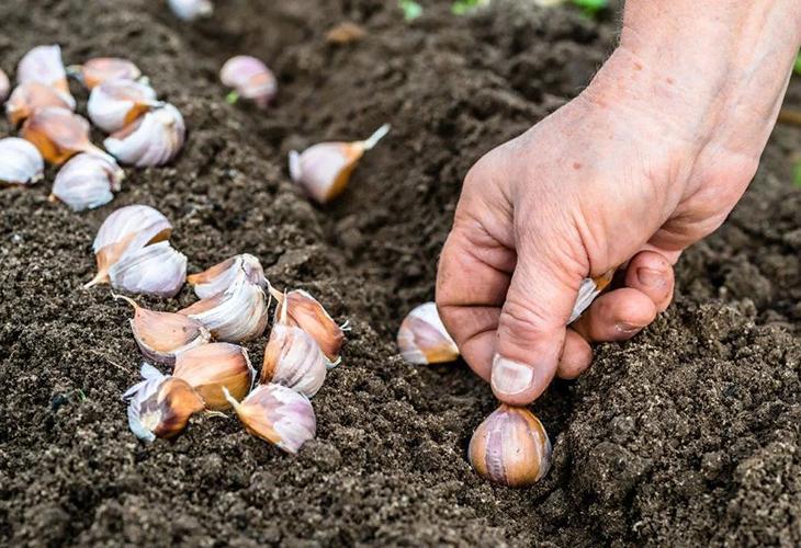 Сроки посадки чеснока
