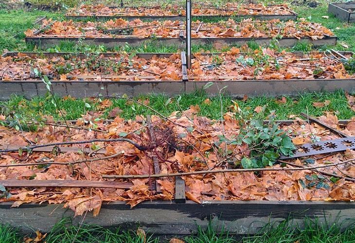 Укрытие растений на зиму сухой листвой