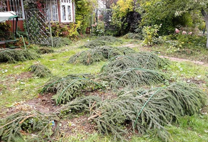 Укрытие растений на зиму лапником