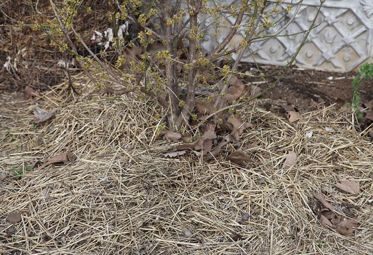Укрытие растений на зиму соломой