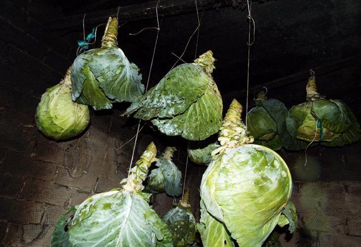Хранение подвешенной капусты