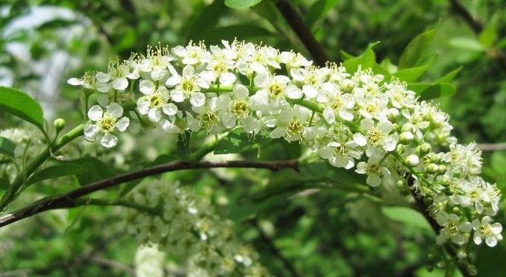 Кустарник цветет мелкими белыми цветами
