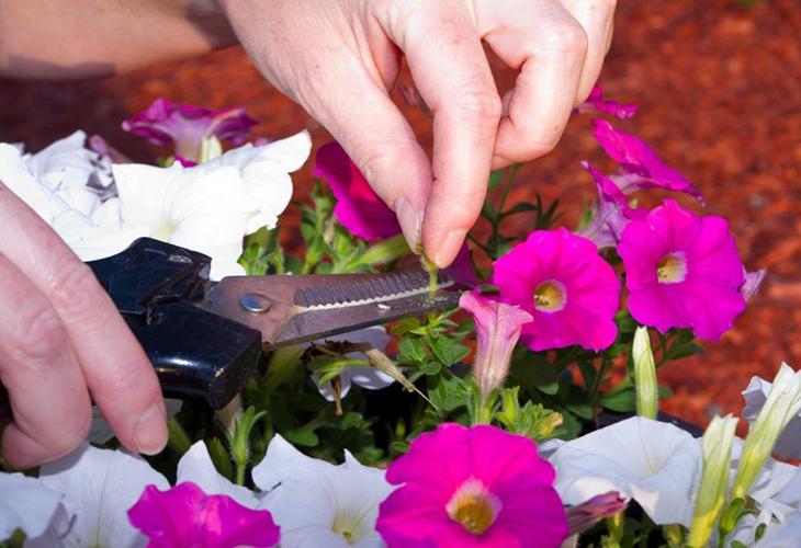 Прищипывание цветущей петуньи