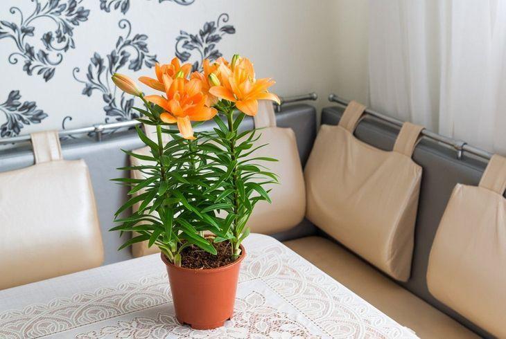 Цветении комнатной лилии