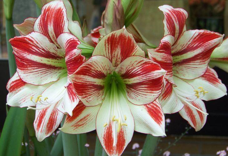 Комнатные лилии