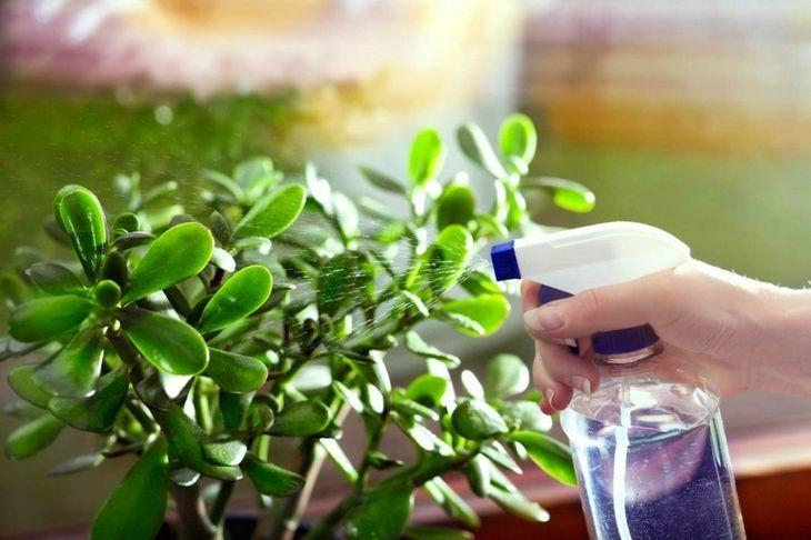 Опрыскивание растений янтарной кислотой