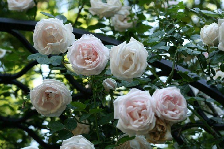 Роза Нью Доун