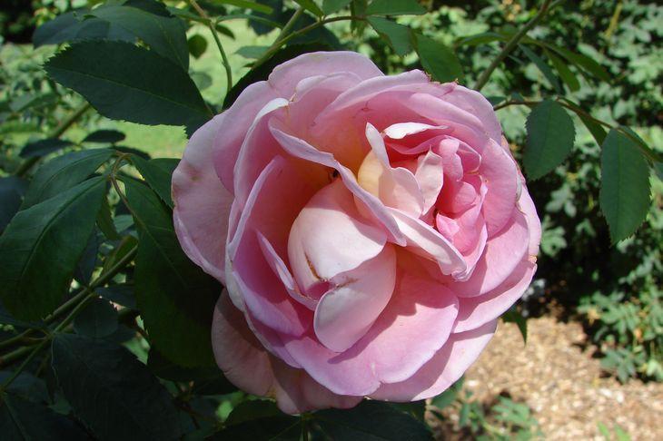Розы Frühlingsduft