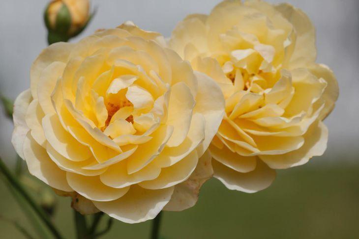 Розы Graham Thomas