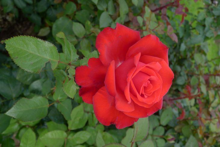 Розы Grand Hotel