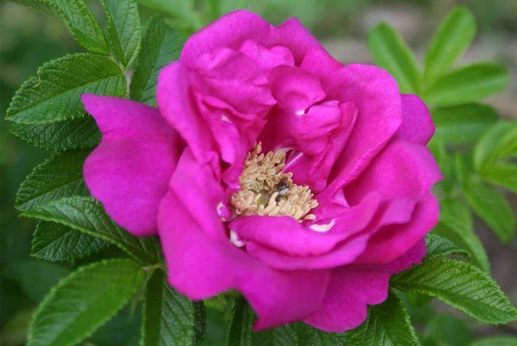 Роза Rosa rugosa