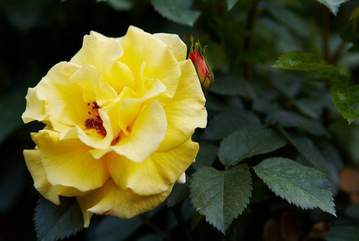 Роза Lichtkönigin Lucia