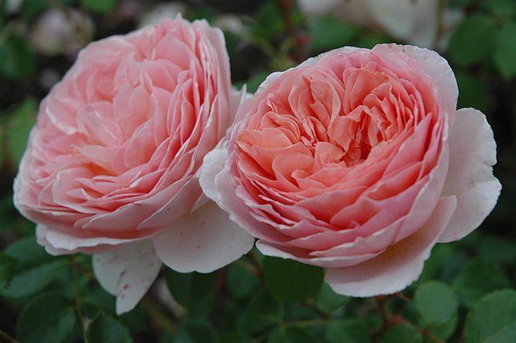 Розы Abraham Darby