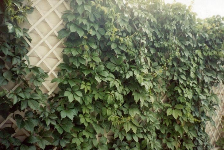 Лиана винограда