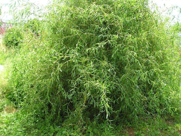 Выращивание ивы матсудана