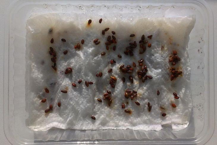 Семена на салфетке