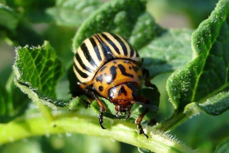 Колорадский жук на листве картофеля
