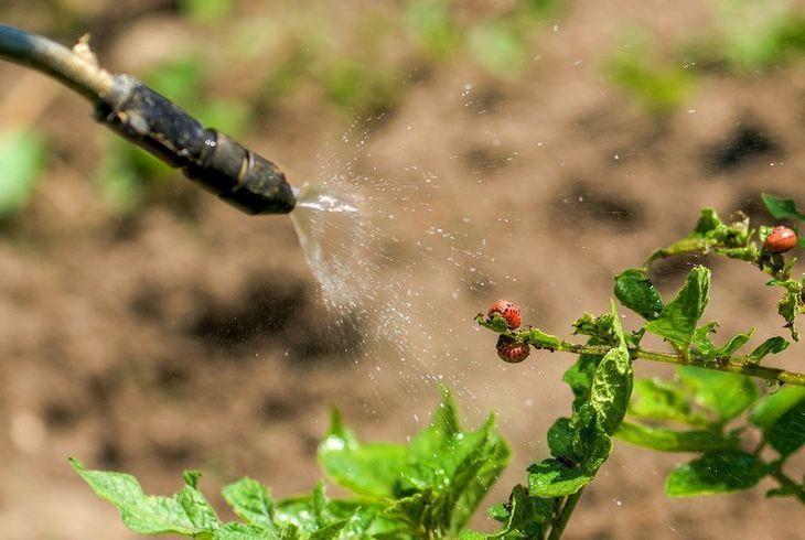 Опрыскивание картофеля от жука
