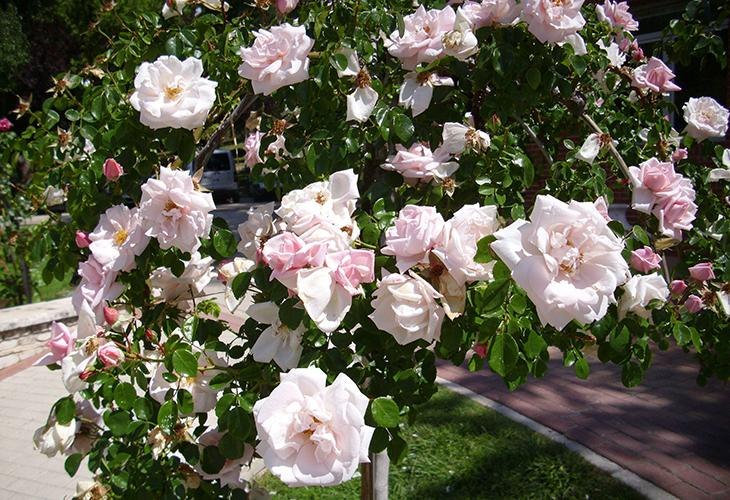 Штамбовые розы Нью Доун