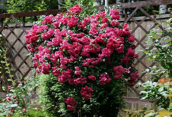 Штамбовые розы Супер Эксцельза