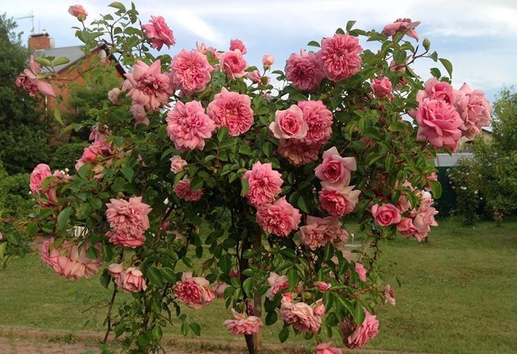 Штамбовые розы Поль Ноэль