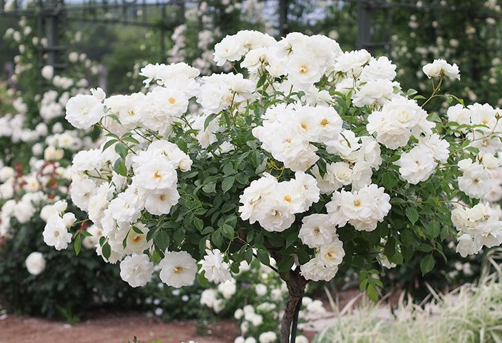 Штамбовые розы Шнеевитхен