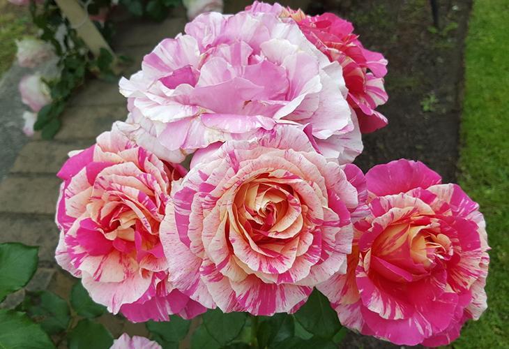 Штамбовые розы Клод Моне