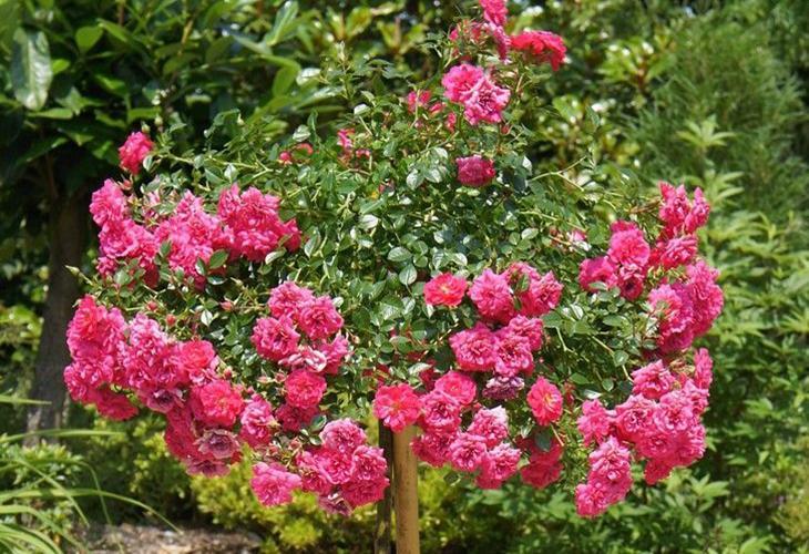 Штамбовые розы Книрпс