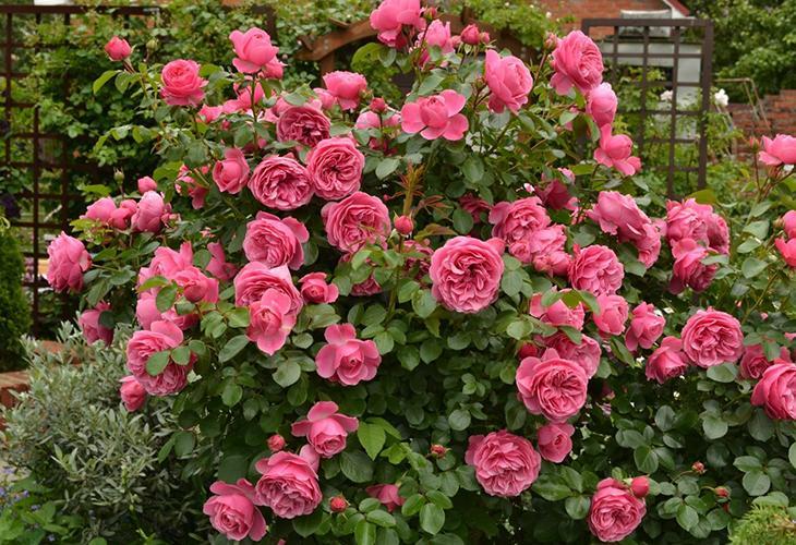 Штамбовые розы Леонардо да Винчи