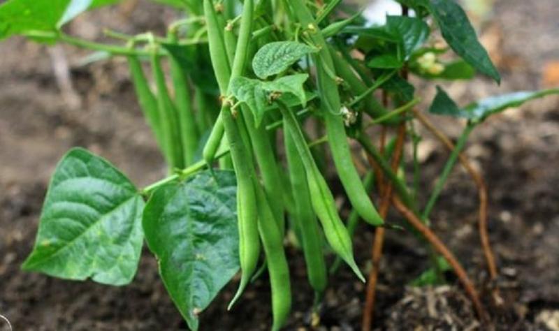 Урожайность спаржевой фасоли