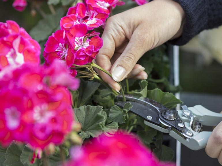 Пеларгония - обрезка для пышного цветения
