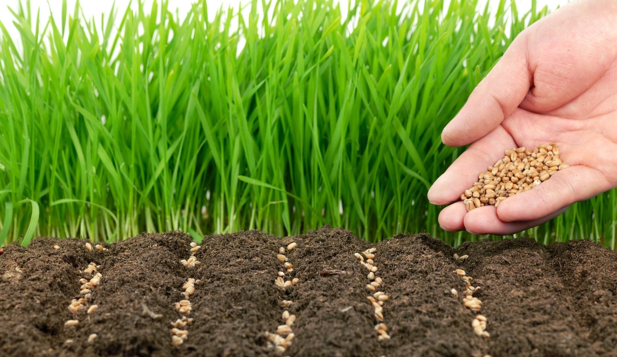 Как посадить сидераты