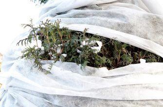 Защита хвойных зимой
