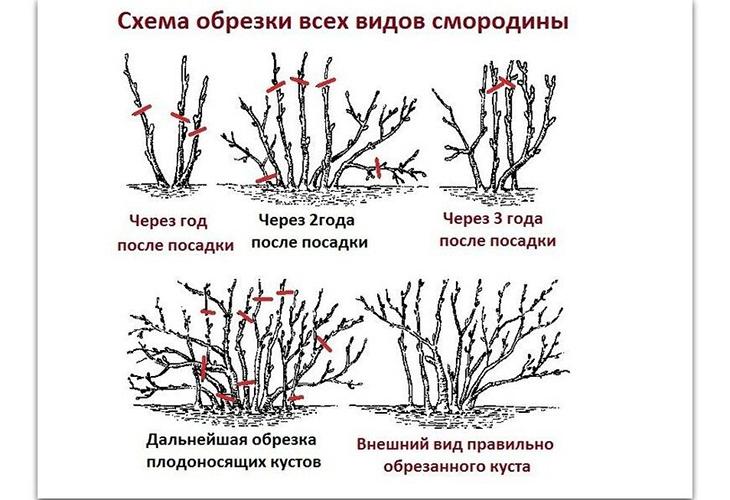 Обрезка смородины в зависимости от возраста куста