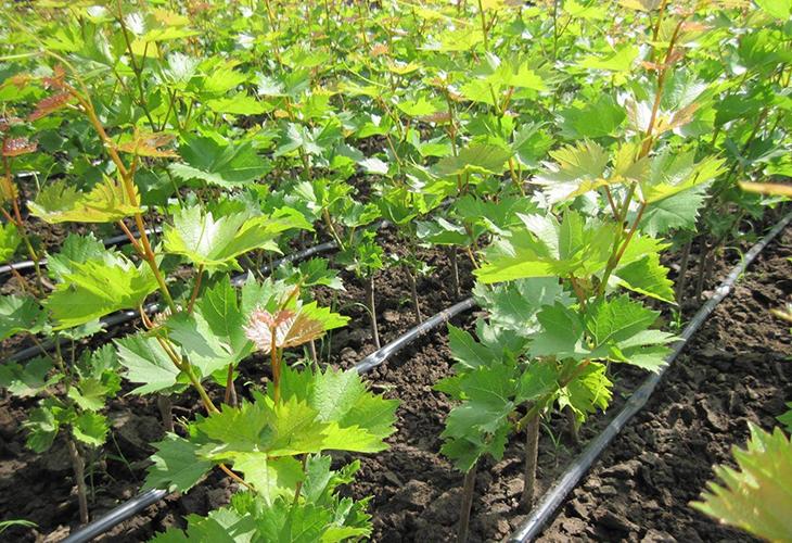Защита молодого винограда
