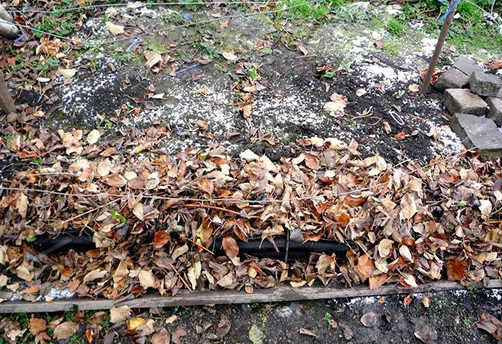 Листья для укрытия винограда