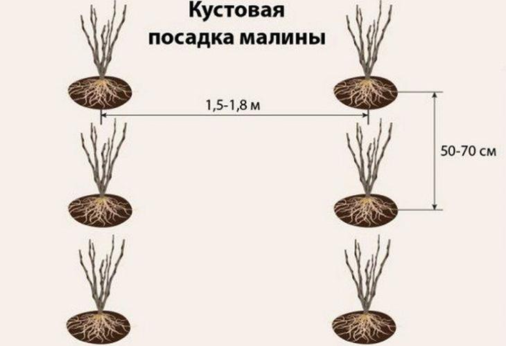 Кустовый метод посадки малины