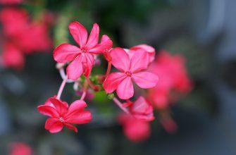Розовые маленькие цветы