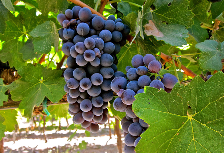 Виноград Барбера