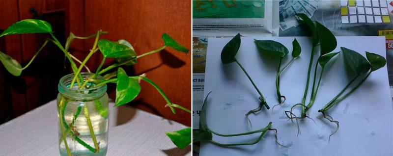 Сциндапсус: уход за цветком в домашних условиях